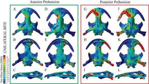 Modelització en 3d de  mossegada de la salamandra gegant de la Xina